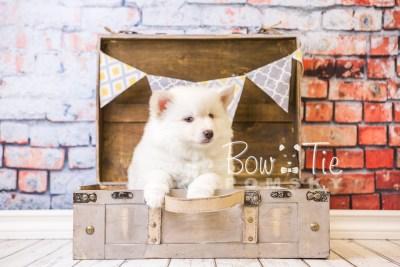 puppy24-week8-bowtiepomsky-com-bowtie-pomsky-puppy-for-sale-husky-pomeranian-mini-dog-spokane-wa-breeder-blue-eyes-pomskies-bowtie_pumsky_fb-0258
