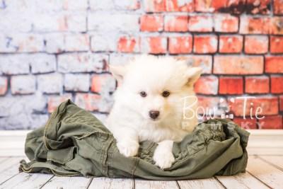 puppy24-week8-bowtiepomsky-com-bowtie-pomsky-puppy-for-sale-husky-pomeranian-mini-dog-spokane-wa-breeder-blue-eyes-pomskies-bowtie_pumsky_fb-0268