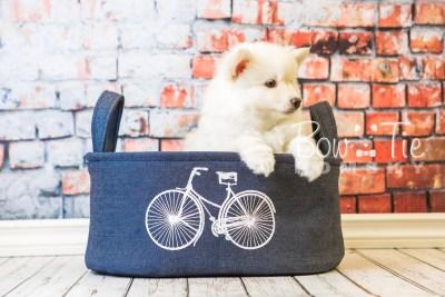 puppy24-week8-bowtiepomsky-com-bowtie-pomsky-puppy-for-sale-husky-pomeranian-mini-dog-spokane-wa-breeder-blue-eyes-pomskies-bowtie_pumsky_fb-0282