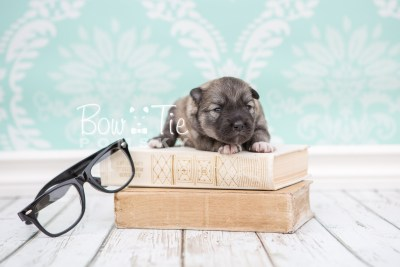puppy25 week2 BowTiePomsky.com Bowtie Pomsky Puppy For Sale Husky Pomeranian Mini Dog Spokane WA Breeder Blue Eyes Pomskies photo-photo_fb-1