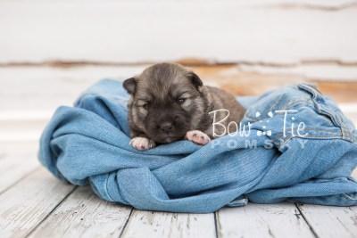 puppy25 week2 BowTiePomsky.com Bowtie Pomsky Puppy For Sale Husky Pomeranian Mini Dog Spokane WA Breeder Blue Eyes Pomskies photo-photo_fb-4