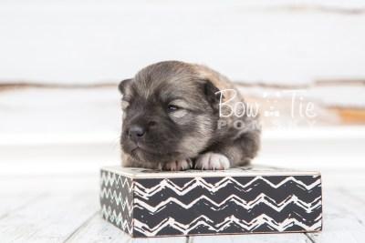 puppy25 week2 BowTiePomsky.com Bowtie Pomsky Puppy For Sale Husky Pomeranian Mini Dog Spokane WA Breeder Blue Eyes Pomskies photo-photo_fb-6