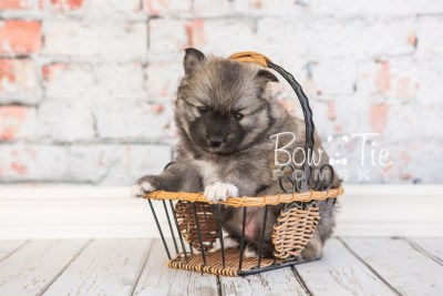 puppy25-week4-bowtiepomsky-com-bowtie-pomsky-puppy-for-sale-husky-pomeranian-mini-dog-spokane-wa-breeder-blue-eyes-pomskies-photo_fb-13