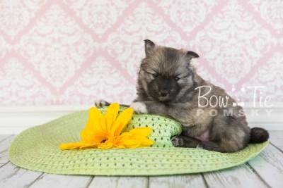 puppy25-week4-bowtiepomsky-com-bowtie-pomsky-puppy-for-sale-husky-pomeranian-mini-dog-spokane-wa-breeder-blue-eyes-pomskies-photo_fb-14
