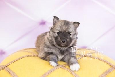 puppy25-week4-bowtiepomsky-com-bowtie-pomsky-puppy-for-sale-husky-pomeranian-mini-dog-spokane-wa-breeder-blue-eyes-pomskies-photo_fb-8