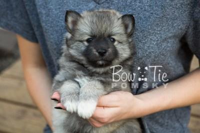 puppy25-week6-bowtiepomsky-com-bowtie-pomsky-puppy-for-sale-husky-pomeranian-mini-dog-spokane-wa-breeder-blue-eyes-pomskies-photo_fb-14