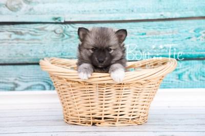 puppy25-week6-bowtiepomsky-com-bowtie-pomsky-puppy-for-sale-husky-pomeranian-mini-dog-spokane-wa-breeder-blue-eyes-pomskies-photo_fb-8