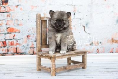 puppy25-week6-bowtiepomsky-com-bowtie-pomsky-puppy-for-sale-husky-pomeranian-mini-dog-spokane-wa-breeder-blue-eyes-pomskies-photo_fb-9