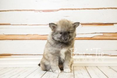 puppy25-week8-bowtiepomsky-com-bowtie-pomsky-puppy-for-sale-husky-pomeranian-mini-dog-spokane-wa-breeder-blue-eyes-pomskies-bowtie_pumsky_fb-0362