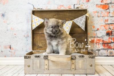 puppy25-week8-bowtiepomsky-com-bowtie-pomsky-puppy-for-sale-husky-pomeranian-mini-dog-spokane-wa-breeder-blue-eyes-pomskies-bowtie_pumsky_fb-0371