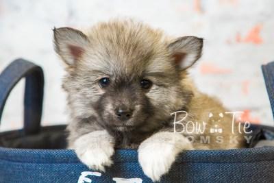 puppy25-week8-bowtiepomsky-com-bowtie-pomsky-puppy-for-sale-husky-pomeranian-mini-dog-spokane-wa-breeder-blue-eyes-pomskies-bowtie_pumsky_fb-0401
