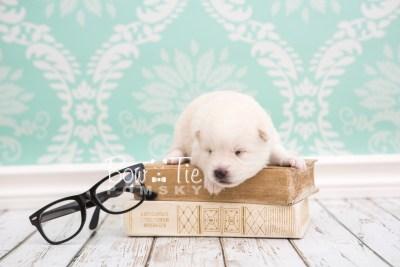 puppy26 week2 BowTiePomsky.com Bowtie Pomsky Puppy For Sale Husky Pomeranian Mini Dog Spokane WA Breeder Blue Eyes Pomskies photo-photo_fb-1