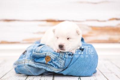 puppy26 week2 BowTiePomsky.com Bowtie Pomsky Puppy For Sale Husky Pomeranian Mini Dog Spokane WA Breeder Blue Eyes Pomskies photo-photo_fb-4