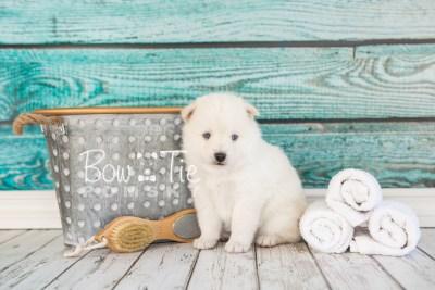 puppy26-week4-bowtiepomsky-com-bowtie-pomsky-puppy-for-sale-husky-pomeranian-mini-dog-spokane-wa-breeder-blue-eyes-pomskies-photo_fb-16