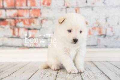 puppy26-week4-bowtiepomsky-com-bowtie-pomsky-puppy-for-sale-husky-pomeranian-mini-dog-spokane-wa-breeder-blue-eyes-pomskies-photo_fb-17
