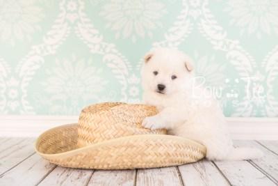 puppy26-week4-bowtiepomsky-com-bowtie-pomsky-puppy-for-sale-husky-pomeranian-mini-dog-spokane-wa-breeder-blue-eyes-pomskies-photo_fb-21