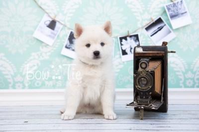 puppy26-week6-bowtiepomsky-com-bowtie-pomsky-puppy-for-sale-husky-pomeranian-mini-dog-spokane-wa-breeder-blue-eyes-pomskies-photo_fb-15