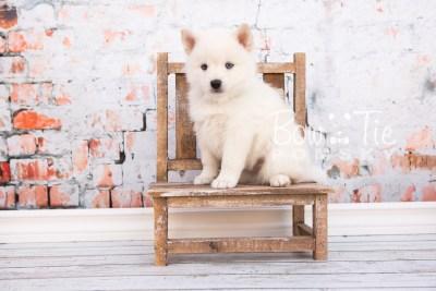 puppy26-week6-bowtiepomsky-com-bowtie-pomsky-puppy-for-sale-husky-pomeranian-mini-dog-spokane-wa-breeder-blue-eyes-pomskies-photo_fb-19