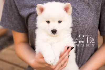 puppy26-week6-bowtiepomsky-com-bowtie-pomsky-puppy-for-sale-husky-pomeranian-mini-dog-spokane-wa-breeder-blue-eyes-pomskies-photo_fb-20