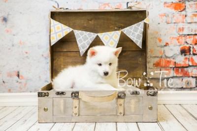 puppy26-week8-bowtiepomsky-com-bowtie-pomsky-puppy-for-sale-husky-pomeranian-mini-dog-spokane-wa-breeder-blue-eyes-pomskies-bowtie_pumsky_fb-0459