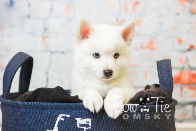 puppy26-week8-bowtiepomsky-com-bowtie-pomsky-puppy-for-sale-husky-pomeranian-mini-dog-spokane-wa-breeder-blue-eyes-pomskies-bowtie_pumsky_fb-0510