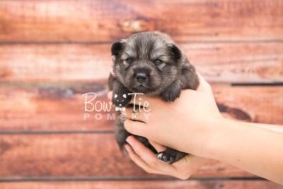 puppy27 week2 BowTiePomsky.com Bowtie Pomsky Puppy For Sale Husky Pomeranian Mini Dog Spokane WA Breeder Blue Eyes Pomskies photo-photo_fb-3