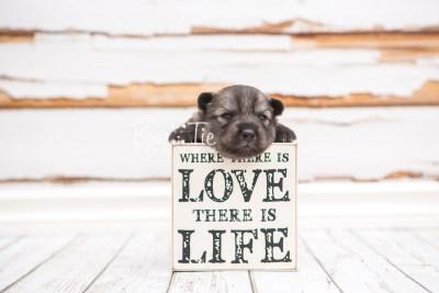 puppy27 week2 BowTiePomsky.com Bowtie Pomsky Puppy For Sale Husky Pomeranian Mini Dog Spokane WA Breeder Blue Eyes Pomskies photo-photo_fb-5