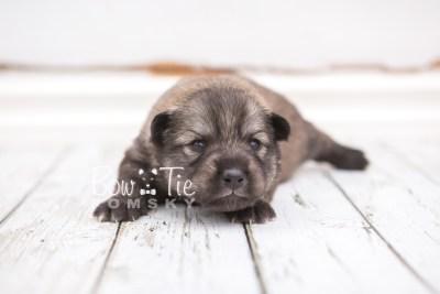 puppy27 week2 BowTiePomsky.com Bowtie Pomsky Puppy For Sale Husky Pomeranian Mini Dog Spokane WA Breeder Blue Eyes Pomskies photo-photo_fb-7