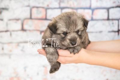 puppy27-week4-bowtiepomsky-com-bowtie-pomsky-puppy-for-sale-husky-pomeranian-mini-dog-spokane-wa-breeder-blue-eyes-pomskies-photo_fb-26