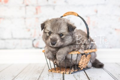 puppy27-week4-bowtiepomsky-com-bowtie-pomsky-puppy-for-sale-husky-pomeranian-mini-dog-spokane-wa-breeder-blue-eyes-pomskies-photo_fb-27