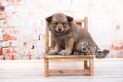 puppy27-week6-bowtiepomsky-com-bowtie-pomsky-puppy-for-sale-husky-pomeranian-mini-dog-spokane-wa-breeder-blue-eyes-pomskies-photo_fb-24