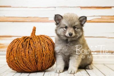 puppy27-week8-bowtiepomsky-com-bowtie-pomsky-puppy-for-sale-husky-pomeranian-mini-dog-spokane-wa-breeder-blue-eyes-pomskies-bowtie_pumsky_fb-0526