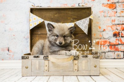 puppy27-week8-bowtiepomsky-com-bowtie-pomsky-puppy-for-sale-husky-pomeranian-mini-dog-spokane-wa-breeder-blue-eyes-pomskies-bowtie_pumsky_fb-0546