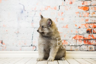 puppy27-week8-bowtiepomsky-com-bowtie-pomsky-puppy-for-sale-husky-pomeranian-mini-dog-spokane-wa-breeder-blue-eyes-pomskies-bowtie_pumsky_fb-0575