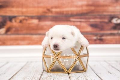 puppy28 week2 BowTiePomsky.com Bowtie Pomsky Puppy For Sale Husky Pomeranian Mini Dog Spokane WA Breeder Blue Eyes Pomskies photo-photo_fb-2