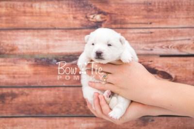 puppy28 week2 BowTiePomsky.com Bowtie Pomsky Puppy For Sale Husky Pomeranian Mini Dog Spokane WA Breeder Blue Eyes Pomskies photo-photo_fb-3