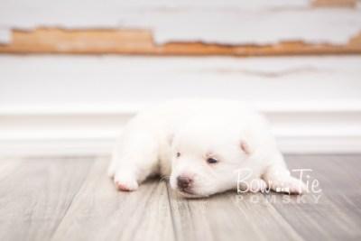puppy28 week2 BowTiePomsky.com Bowtie Pomsky Puppy For Sale Husky Pomeranian Mini Dog Spokane WA Breeder Blue Eyes Pomskies photo-photo_fb-7