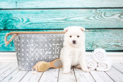 puppy28-week4-bowtiepomsky-com-bowtie-pomsky-puppy-for-sale-husky-pomeranian-mini-dog-spokane-wa-breeder-blue-eyes-pomskies-photo_fb-3