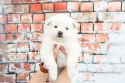 puppy28-week4-bowtiepomsky-com-bowtie-pomsky-puppy-for-sale-husky-pomeranian-mini-dog-spokane-wa-breeder-blue-eyes-pomskies-photo_fb-5