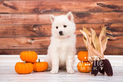 puppy28-week6-bowtiepomsky-com-bowtie-pomsky-puppy-for-sale-husky-pomeranian-mini-dog-spokane-wa-breeder-blue-eyes-pomskies-photo_fb-31