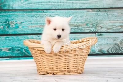 puppy28-week6-bowtiepomsky-com-bowtie-pomsky-puppy-for-sale-husky-pomeranian-mini-dog-spokane-wa-breeder-blue-eyes-pomskies-photo_fb-34