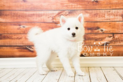 puppy28-week8-bowtiepomsky-com-bowtie-pomsky-puppy-for-sale-husky-pomeranian-mini-dog-spokane-wa-breeder-blue-eyes-pomskies-bowtie_pumsky_fb-0608