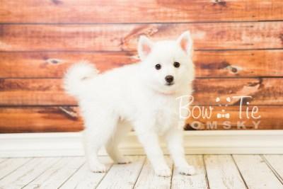 puppy28-week8-bowtiepomsky-com-bowtie-pomsky-puppy-for-sale-husky-pomeranian-mini-dog-spokane-wa-breeder-blue-eyes-pomskies-bowtie_pumsky_fb-0608