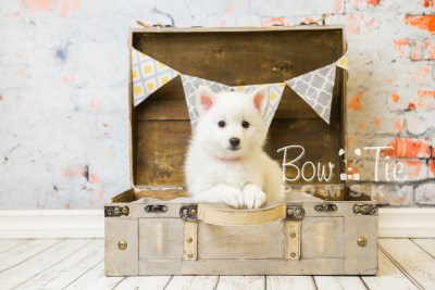 puppy28-week8-bowtiepomsky-com-bowtie-pomsky-puppy-for-sale-husky-pomeranian-mini-dog-spokane-wa-breeder-blue-eyes-pomskies-bowtie_pumsky_fb-0616