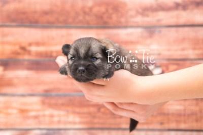 puppy29 week2 BowTiePomsky.com Bowtie Pomsky Puppy For Sale Husky Pomeranian Mini Dog Spokane WA Breeder Blue Eyes Pomskies photo-photo_fb-3