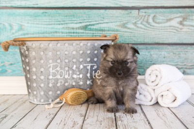 puppy29-week4-bowtiepomsky-com-bowtie-pomsky-puppy-for-sale-husky-pomeranian-mini-dog-spokane-wa-breeder-blue-eyes-pomskies-photo_fb-30