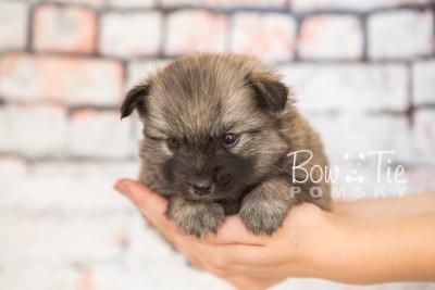 puppy29-week4-bowtiepomsky-com-bowtie-pomsky-puppy-for-sale-husky-pomeranian-mini-dog-spokane-wa-breeder-blue-eyes-pomskies-photo_fb-33