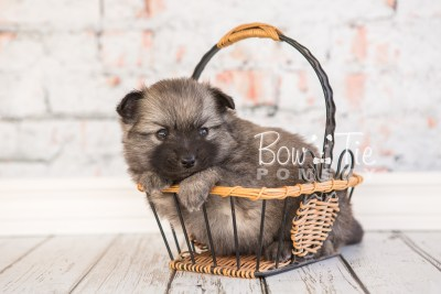 puppy29-week4-bowtiepomsky-com-bowtie-pomsky-puppy-for-sale-husky-pomeranian-mini-dog-spokane-wa-breeder-blue-eyes-pomskies-photo_fb-34