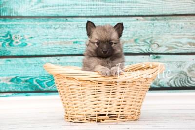 puppy29-week6-bowtiepomsky-com-bowtie-pomsky-puppy-for-sale-husky-pomeranian-mini-dog-spokane-wa-breeder-blue-eyes-pomskies-photo_fb-36