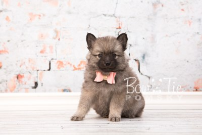 puppy29-week6-bowtiepomsky-com-bowtie-pomsky-puppy-for-sale-husky-pomeranian-mini-dog-spokane-wa-breeder-blue-eyes-pomskies-photo_fb-37